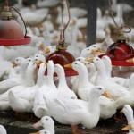 Tuyển giúp việc nam Đài Loan làm việc ở trang trại chăn nuôi vịt